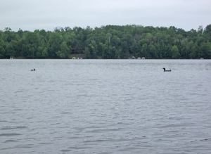 Loons on Birch Lake